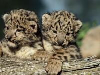 Doi pui de leopard, vedetele unei gradini zoologice din Paris