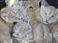 Doua leoaice si-au unit fortele pentru a creste 9 pui