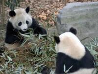 Doi ursi panda s-au mutat din China, in Australia!