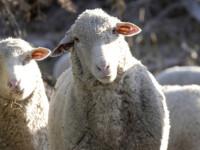 Rodeo cu oi pentru concurenti de gradinita!