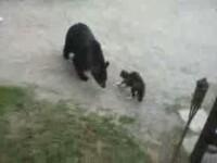 Urs gunoier versus pisica in lupta pentru mancare! Vezi cine castiga