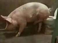 Si-a invatat porcii sa mearga la toaleta, de dragul mediului inconjurator!