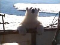 Un urs polar face senzatie pe internet! VIDEO
