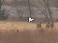 VIDEO socant. Ce face acest animal este absolut incredibil si imposibil de explicat