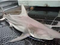 Specia pe care nimeni n-a mai vazut-o. Primii rechini hibrid, descoperiti in apele Australiei. FOTO