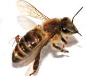 Manevra periculoasă făcută de un șofer român la volan, după ce a fost înțepat de o albină