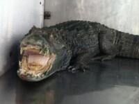 Un traficant de droguri, arestat, dupa ce politia a gasit 15 kg de marijuana si un aligator in casa