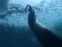 Una dintre cele mai impresionante poze realizate vreodata. Cum ataca prada un leopard de mare