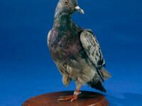 Povestea lui Cher Ami, porumbelul erou care a salvat 197 de soldati in Primul Razboi Mondial