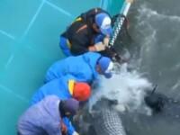 Masacru in Japonia. 250 de delfini au fost incoltiti de vanatori si omorati unul cate unul