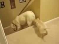 O catea labrador isi invata puiul sa coboare scarlile. Cum procedeaza pisica. VIDEO