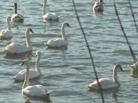 Spectacol uimitor pe un lac din judetul Neamt. Sute de lebede, rate salbatice sau egrete asteapta sa vina primavara