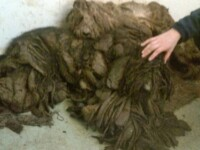 Cu greu si-au dat seama ca sub mormanul de blana incalcita se ascundeau doi caini. Cum arata dupa ce au fost spalati si tunsi