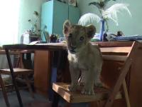 Povestea lui King Paraschiv, puiul de leu respins de mama la nastere si mutat in biroul directorului de la Zoo Barlad