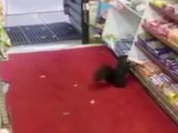 Paguba produsa unui magazin din Toronto de o veverita. In ultimele saptamani, a furat 48 de batoane de ciocolata