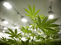 Consumul recreaţional de marijuana, legal de la 1 ianuarie în California