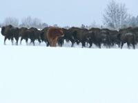 O văcuţă care a fugit de la o fermă din Polonia şi-a găsit o nouă familie