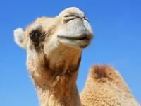 12 cămile descalificate de la un concurs de frumusețe din Arabia Saudită