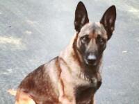 Câine polițist, mușcat de un suspect în timpul unei arestări. FOTO