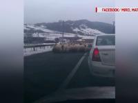 Drum european, invadat de oi, care au început să lingă sarea. Ciobanul, de negăsit