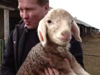 Cercetătorii români au creat oi cu lâna roz sau argintie. Preţul uriaş cu care se vând