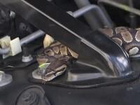 A găsit un şarpe boa în maşină când îşi ducea copiii la şcoală. Gestul care l-a salvat