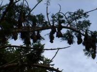 """Mii de lilieci morți din cauza caniculei în Australia. """"Cel mai sever fenomen de acest tip"""""""