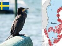 Ambasada Suediei, mesaj cu subînțeles despre cormorani. Precizează și denumirea în latină