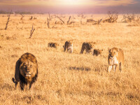 Șaisprezece lei au fost uciși de braconieri. Ce orori făceau cu corpurile animalelor VIDEO