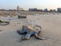Bilanț îngrijorător. Aproape 292 de țestoase, descoperite moarte pe plajele din Oaxaca