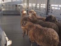 Oile salvate de pe nava eșuată în Portul Midia vor fi duse într-un adăpost special