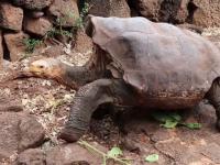 O țestoasă de 100 de ani, cu un apetit sexual uriaș, și-a salvat specia de la dispariție