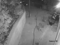 VIDEO. Momentul în care o pisică se luptă de una singură cu trei coioți agresivi