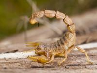 A încercat să scoată ilegal din Sri Lanka 200 de scorpioni. Ce voia să facă cu ei