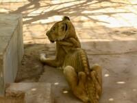 Cum au ajuns să arate leii dintr-un parc din Sudan, ținuți nemâncați și în condiții mizere