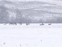 Zeci de căprioare și-au făcut apariția pe marginea DN1, la ieșirea din Avrig