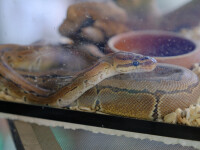 Revista Nature: De ce carnea de şarpe nu este sursa virusului ucigaș din China