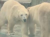 VIDEO. Imagini rare: Cum sunt hrăniți urșii polari la grădina zoologică