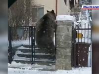 Urși filmați când sar gardul și intră într-o gospodărie din Bușteni