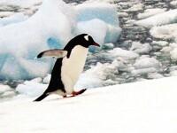 O noua atractie la delfinariul din Constanta: patru pinguini africani!