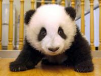 Un pui de panda, vedeta unei gradini zoologice din Atlanta!