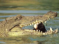 Prietenie fara bariere! Cel mai bun amic al unui pescar e un crocodil