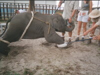 Calvarul elefantilor de la un circ: dresaj cu socuri electrice! Vezi video