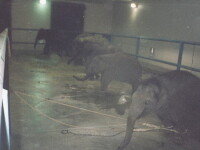 Socant! Animale torturate la circ - ONG-urile din China, revoltate