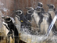 Dezastru in Atlantic: sute de pinguini acoperiti de petrol, morti