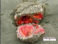Misterul creaturii care seamana cu o piatra care sangereaza sau cu un extraterestru. Ce este de fapt