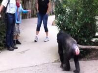 """VIDEO.Gestul incredibil al unui cimpanzeu, imediat ce a reusit sa """"evadeze"""" din tarcul sau de la zoo"""