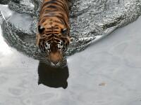 Un tigru de la Gradina Zoologica din Kiev, in depresie dupa ce a fost imbratisat cu forta de un barbat beat