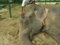 Dupa ce a fost tinut in lanturi timp de 50 de ani, elefantul Raju si-a gasit o prietena si a avut parte de prima masa decenta