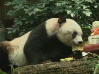 Petrecere la ZOO din Hong Kong. Ursoaica panda Jia-Jia a intrat in Cartea Recordurilor dupa ce a implinit 110 ani umani